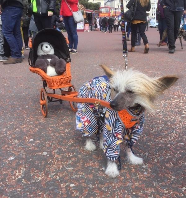 Chico a Chinese crested set in a rickshaw as a novelty carter