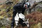 Wild goat released from bag