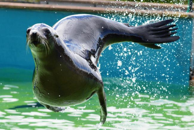 Sophia - Sea Lion - at the Welsh Mountain Zoo