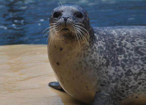 Harbour seal at SeaQuarium Rhyl