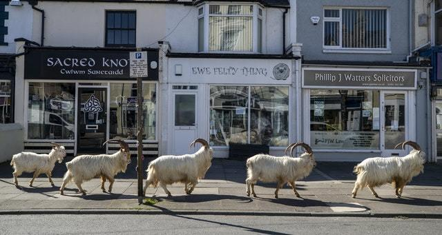 The goats wandered the high street (Peter Byrne/PA)
