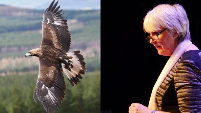 Siân Gwenllian MS opposition to plans to re-introduce eagles to Snowdonia.