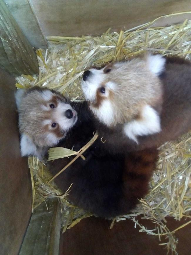 the Welsh Mountain Zoo who has recently welcome twin red panda baby's.