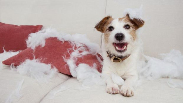 North Wales Pioneer: Consider repurposing old pillows for pets (but only if they won't tear them up!). Credit: Getty Images / smrm1977