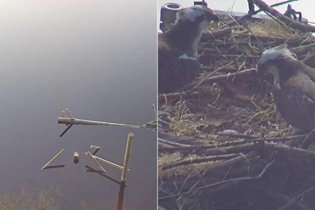 The ospreys had only laid their first yesterday before their nest was felled. (Source - NWP Rural Crime team)