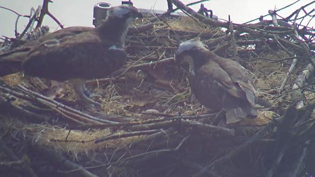 North Wales Pioneer: The nesting pair had only laid their first yesterday.