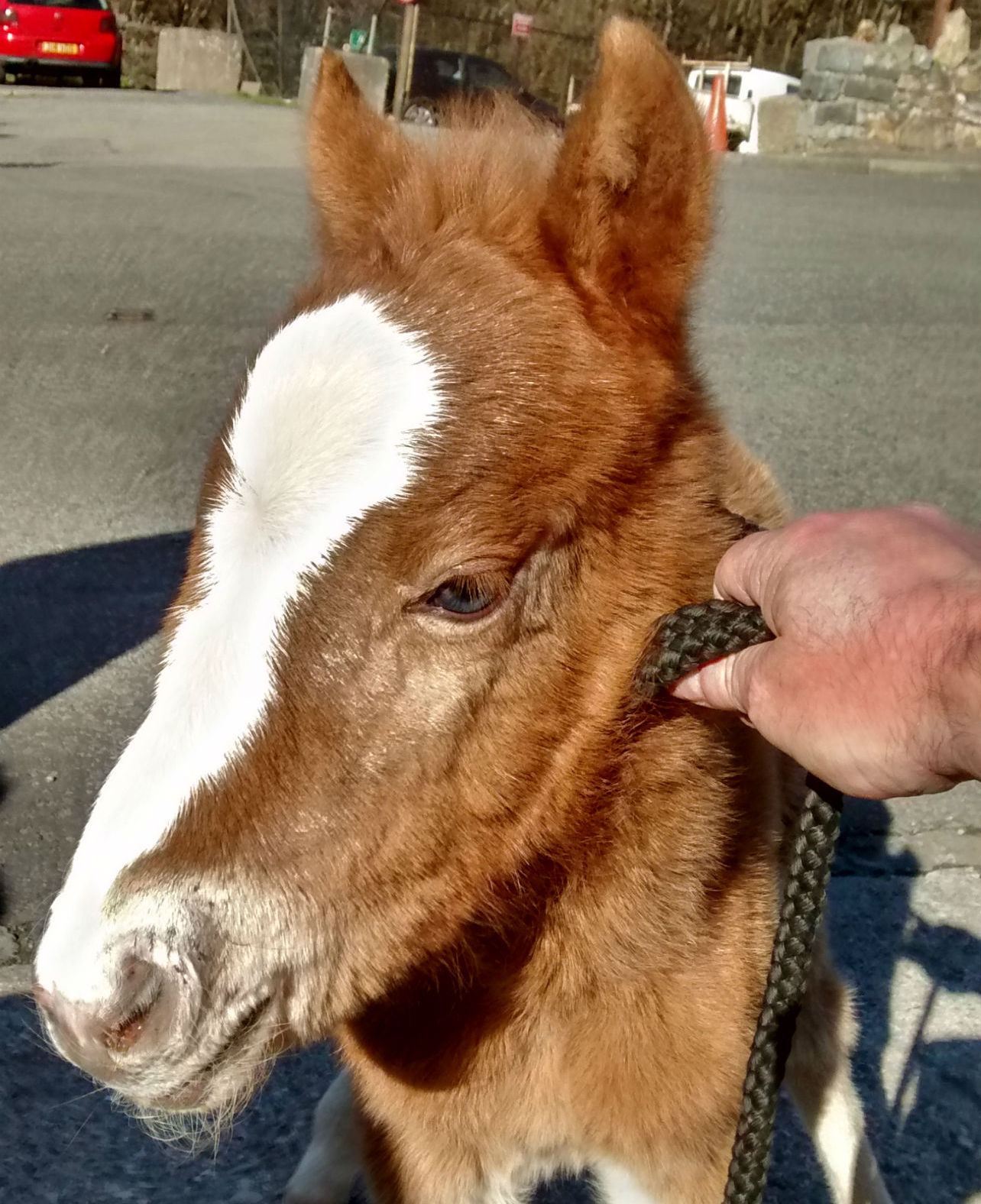 The two-year-old foal rescued from the Conwy Mountain