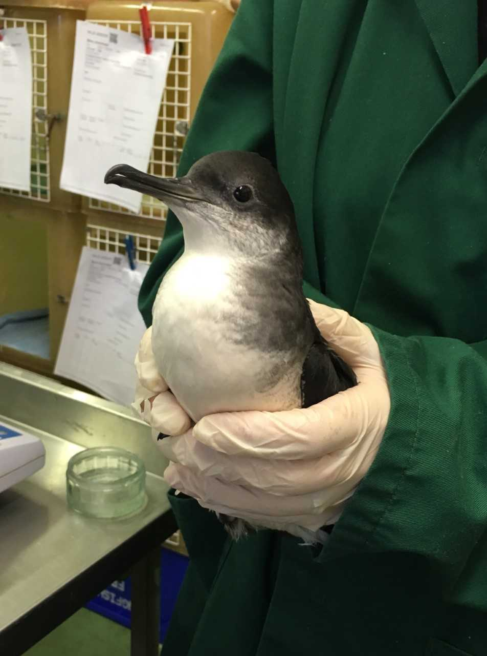 Manx Shearwater bird rescued from West Wales