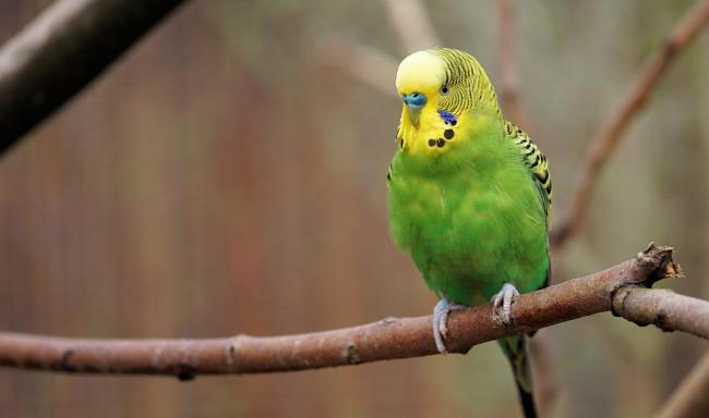 Six budgies make their own way back to home in Rhos on Sea