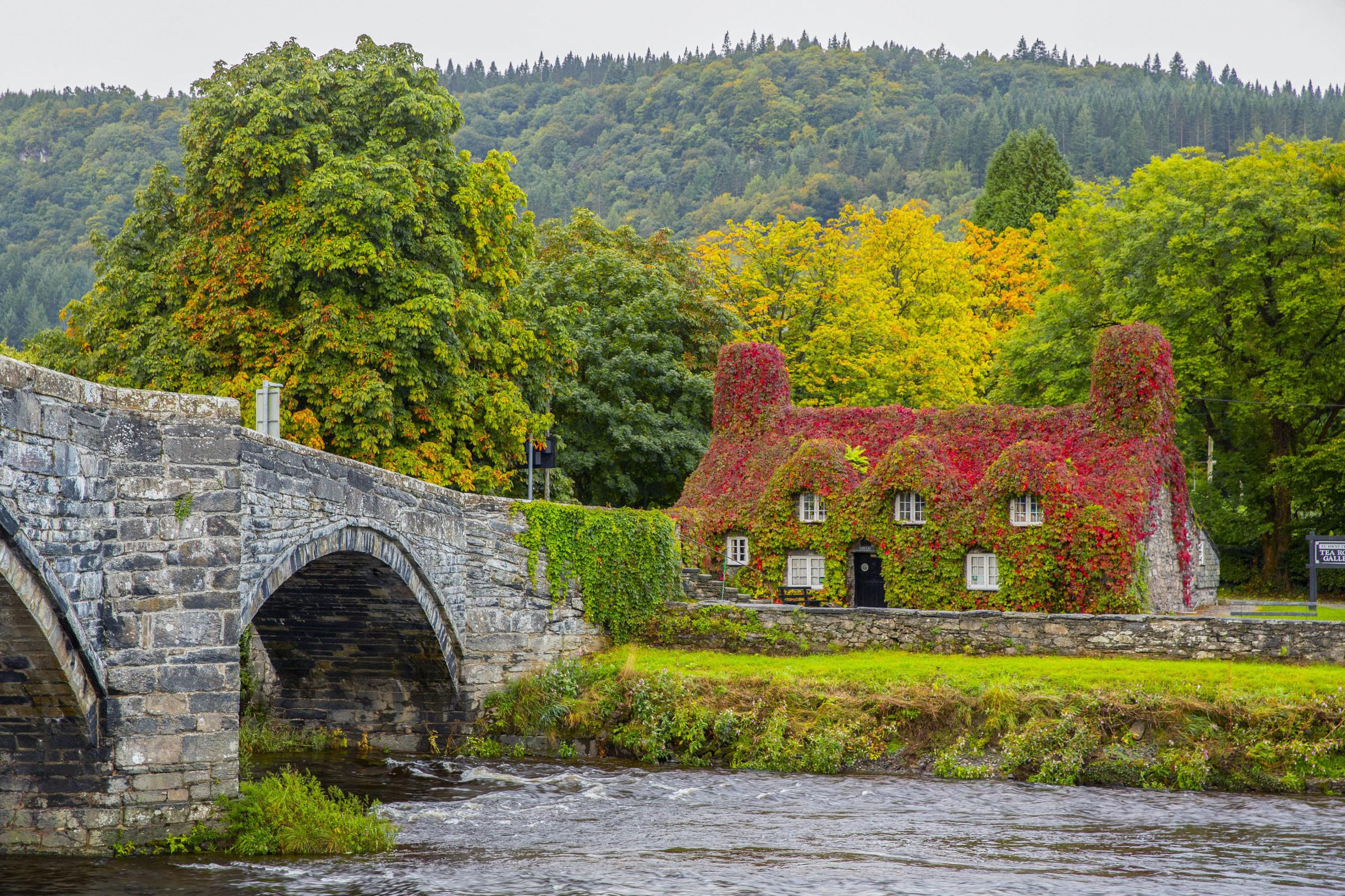 The Virginia creeper covering the Tu Hwnt l'r Bont Tearoom on the banks of the River Conwy in Llanrwst. Picture: Peter Byrne/PA Wire