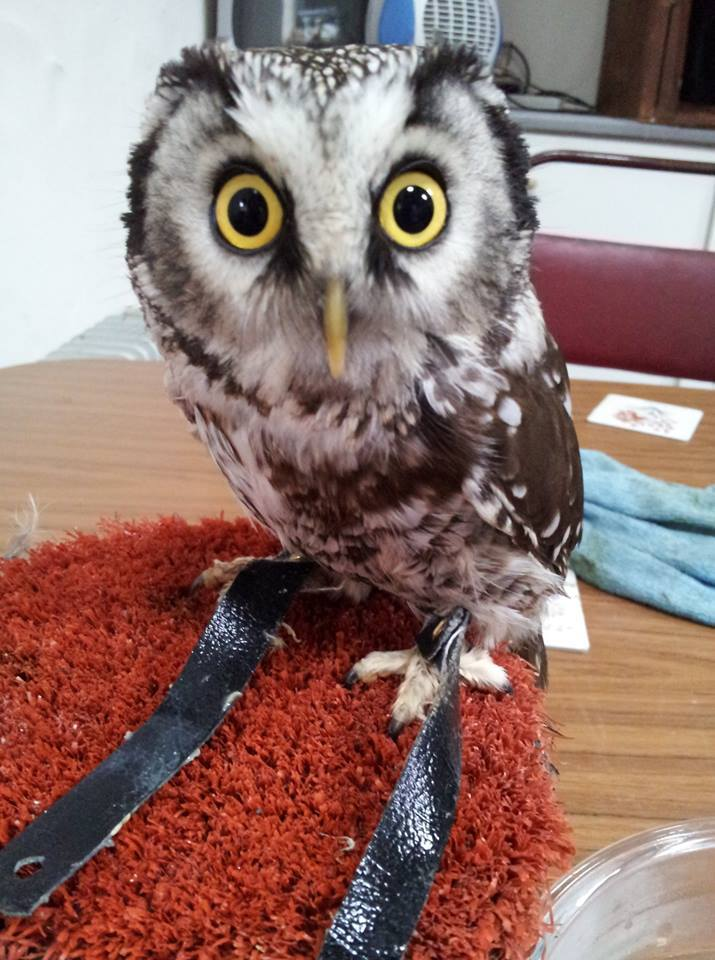 Teddy the owl has gone missing from The Owl Trust in Llandudno. Picture: The Owl Trust/Facebook