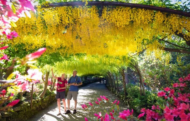 Chris and Val Merrick admire the Laburnum Arch. Mild weather and sunshine has coaxed one of the UK's longest and oldest Laburnum arches, at the National Trust's Bodnant Garden near Conwy, into flower two weeks earlier than normal